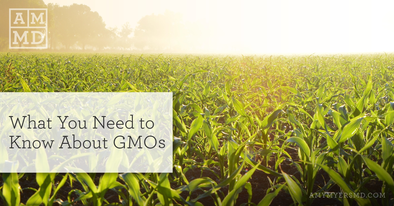 What You Need to Know About GMOs - A Corn Field - Featured Image - Amy Myers MD