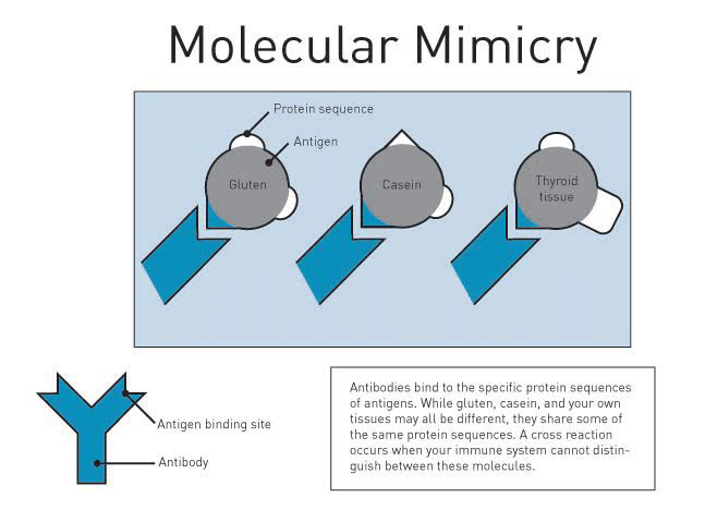 Molecular MImicry - Infographic - Amy Myers MD