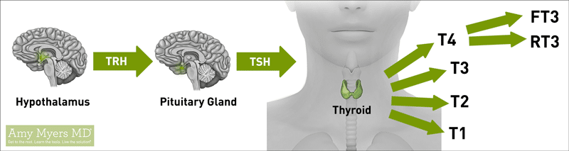 Understanding How the Thyroid Works - Infographic - Amy Myers MD