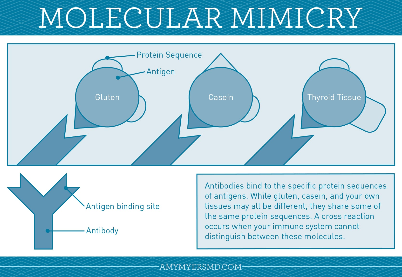 Molecular Mimicry - Gluten, Casein, Thyroid Tissue - Infographic - Amy Myers MD®
