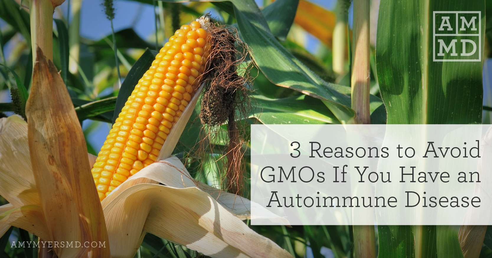 3 Reasons to Avoid GMOs If You Have an Autoimmune Disease - Corn on the Cob - Featured Image - Amy Myers MD