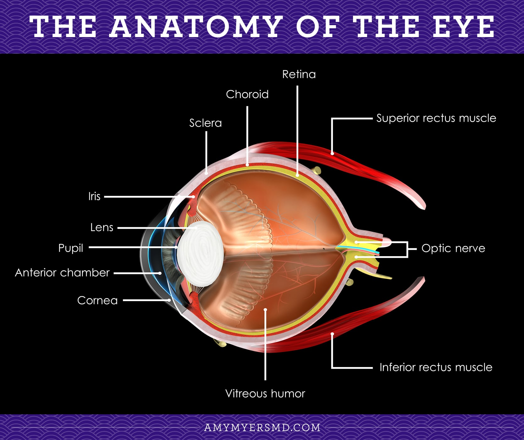 The Anatomy of the Eye - Infographic - Amy Myers MD