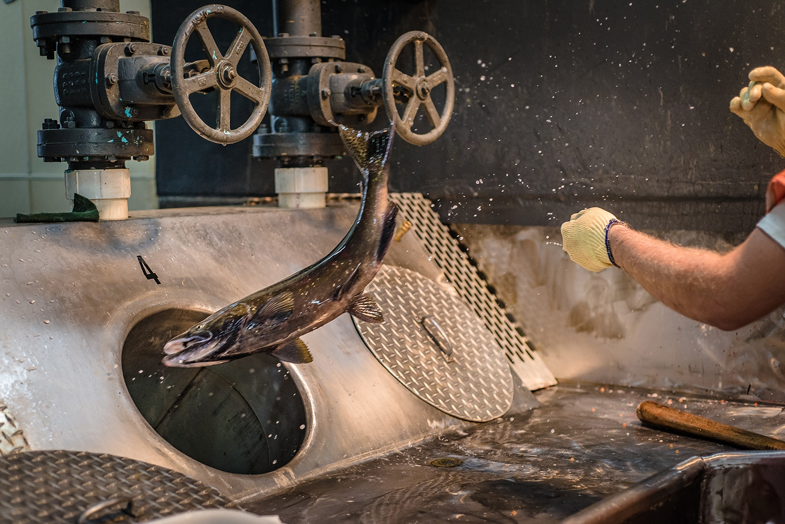 Factory fish flung into a sorting pipe