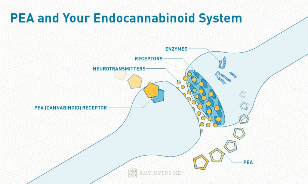 PEA and Your Endocannabinoid System - Infographic - Amy Myers MD®