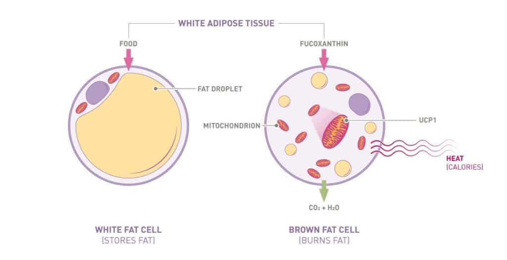 white adipose tissue, white fat cell stores fat, brown fat cell burns fat